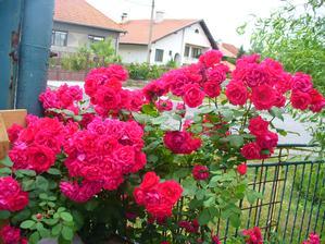 aj červená bola samý kvet