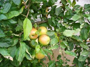 jabĺčka, tento rok ich máme málo, vlani ich bolo veľa