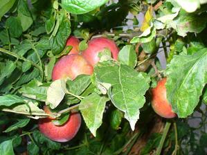 jabĺčka ešte na strome, tento rok ich je málo
