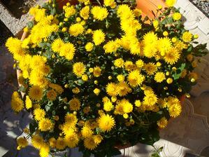 chryzantéma ako krásne zakvitla a mala len malilinké púčiky