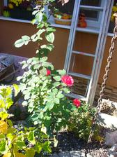 ruža ešte stále kvitne...