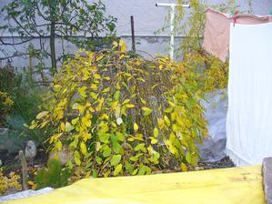 listy žltnú, opadávajú a začne pučať