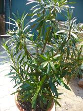 oleander vynesený z pivnice - samá muška
