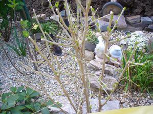 ibištek raší
