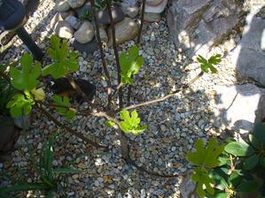 figovník rastie neskutočne rýchlo