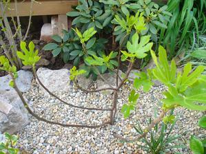figa má 1 plod - vľavo