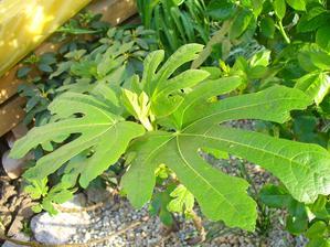 aj figovník rastie rýchlo