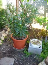 oleander presadený, konečne nemá vošky