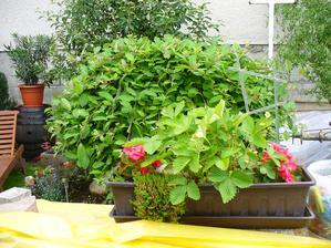 jahodky v kvetináči