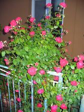 ruža v záhradke, mm ju chcel vyhodiť, ale som ju zachránila............