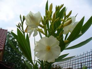 rozkvitnutý oleander