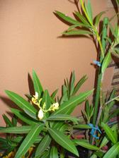 tento oleander sa asi zbláznil, ide kvitnúť