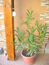 oleander vyzerá dobre