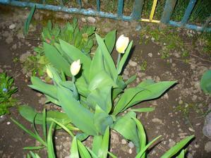 tulipániky už kvitnú