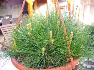 zakrpatená borovica ako krásne rastie