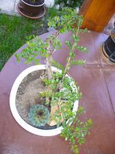 sused sa snaží synovi vytvoriť bonsaj