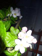 jablone pekne kvitnú