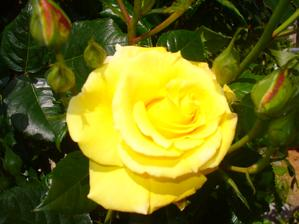 moja nádherná žltá ruža - prvý kvet
