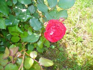 červená mini ruža začína rozkvitať