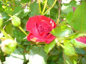 aj druhá červená kvitne