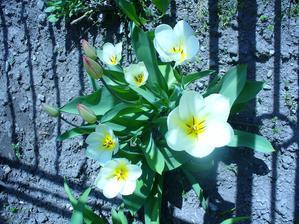 moje tulipániky
