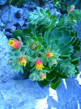 Echeveria kvitnúca