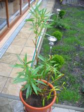 oleander som riadne vystrihala a nič nerobí, ani nerastie ani nevysýcha
