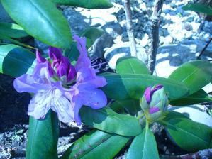 rododendrón sa rozhýbal, pomaličky začína kvitnúť