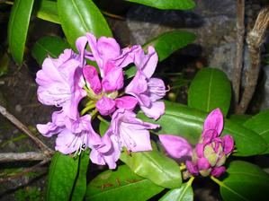 rododendron dnes