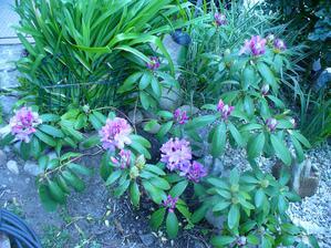 a ten môj nádherný Rododendrón