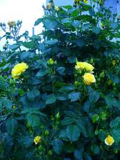 už začína kvitnúť aj moja krásna ruža