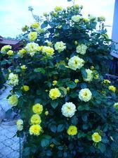 moja veľká ruža - voňavá