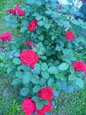 už zakvitá aj ruža pred domom