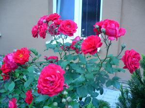 ďalšia ruža v záhradke