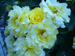 ruža na ruže