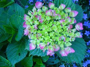 hortenzia kvitne