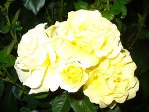 ruža naberá druhý dych