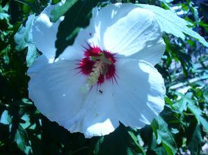 začína kvitnúť biely ibištek