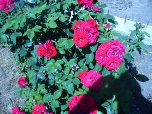 aj ruža kvitne po prvom zostrihaní