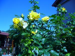 aj žltá začína kvitnúť