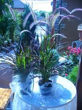 dnes v Kauflande Pennisetum setaceum Rubrum