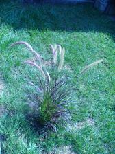 červená tráva, darí sa jej na slnku, nie je náročná na pôdu