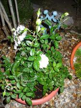 aj biela ružička by chcela ešte kvitnúť