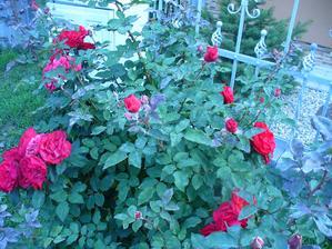 ešte takto veľa ruží rozkvitlo a už bola úplne zostrihaná