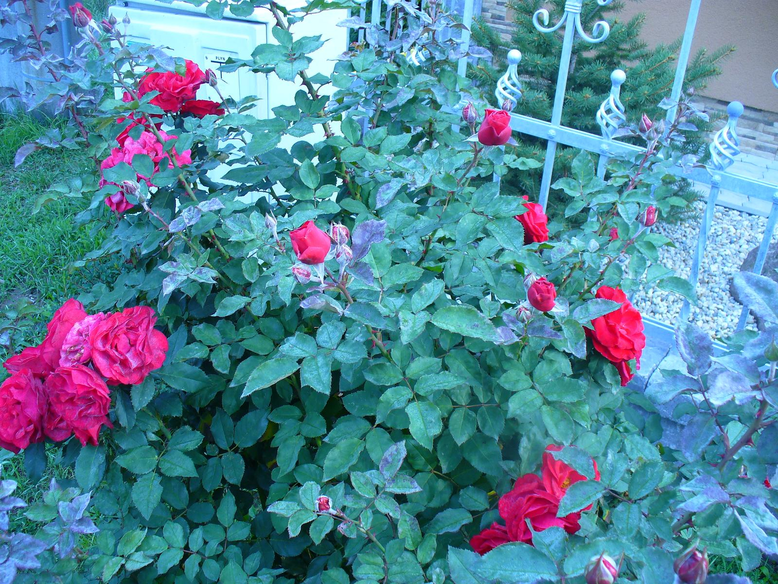 Naša záhradka v roku 2015. - ešte takto veľa ruží rozkvitlo a už bola úplne zostrihaná