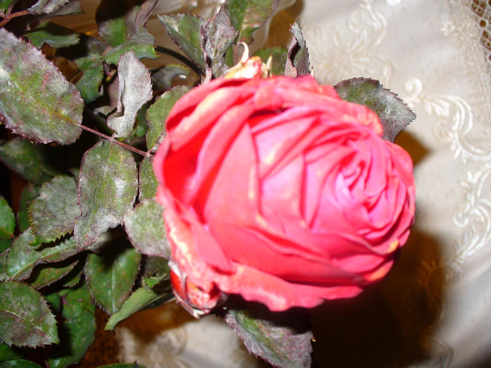 Dnes som odrezala posledné moje ruže :) - Obrázok č. 2