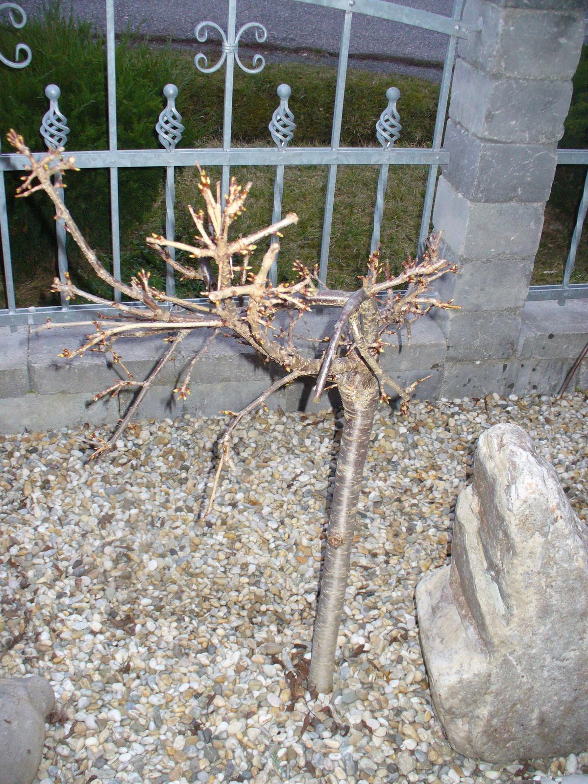 Prerábka, sadenie a úpravy v našej mini záhradke. - okrasná čerešňa sa prebúdza