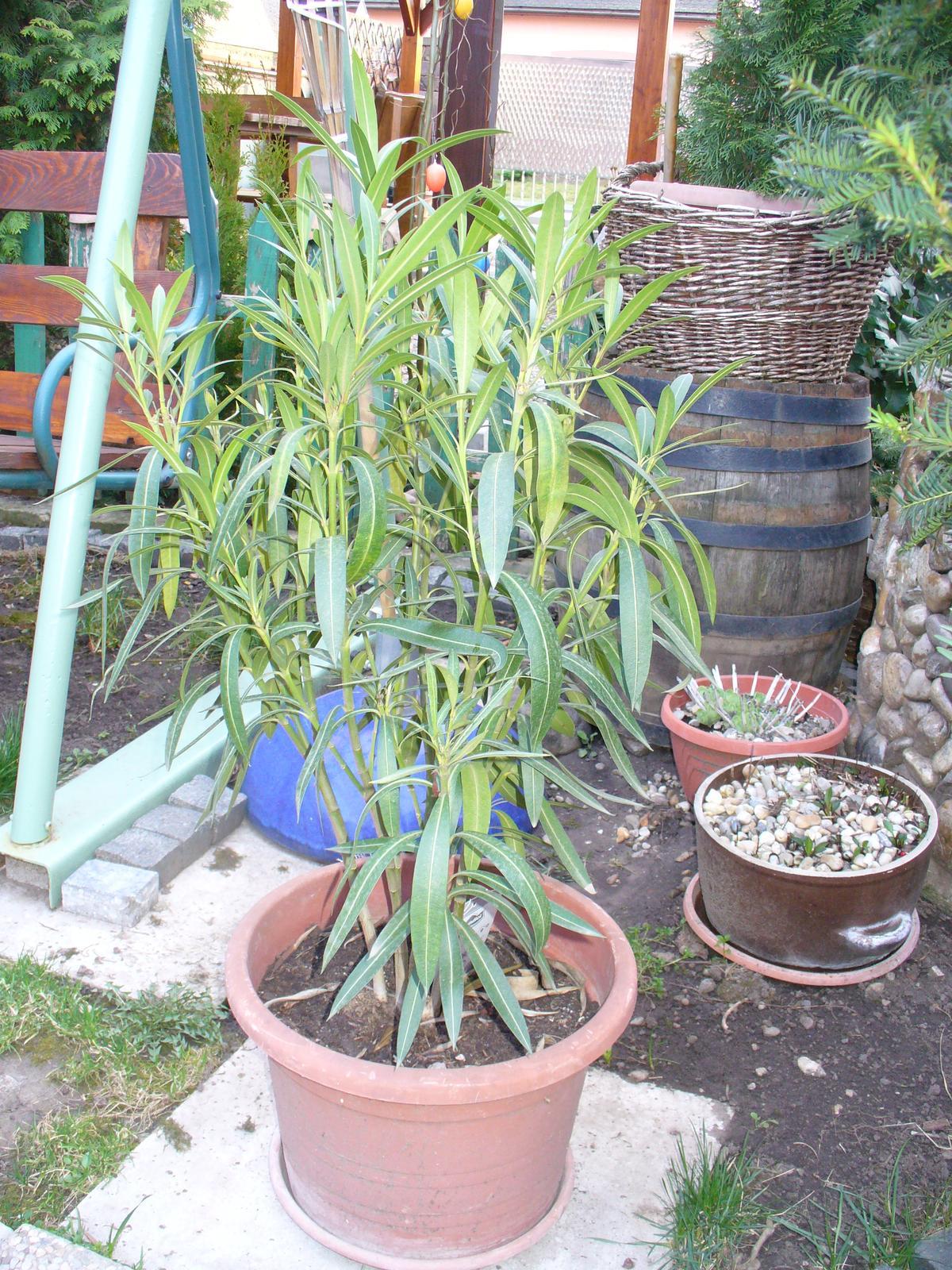Prerábka, sadenie a úpravy v našej mini záhradke. - Oleander je už vonku