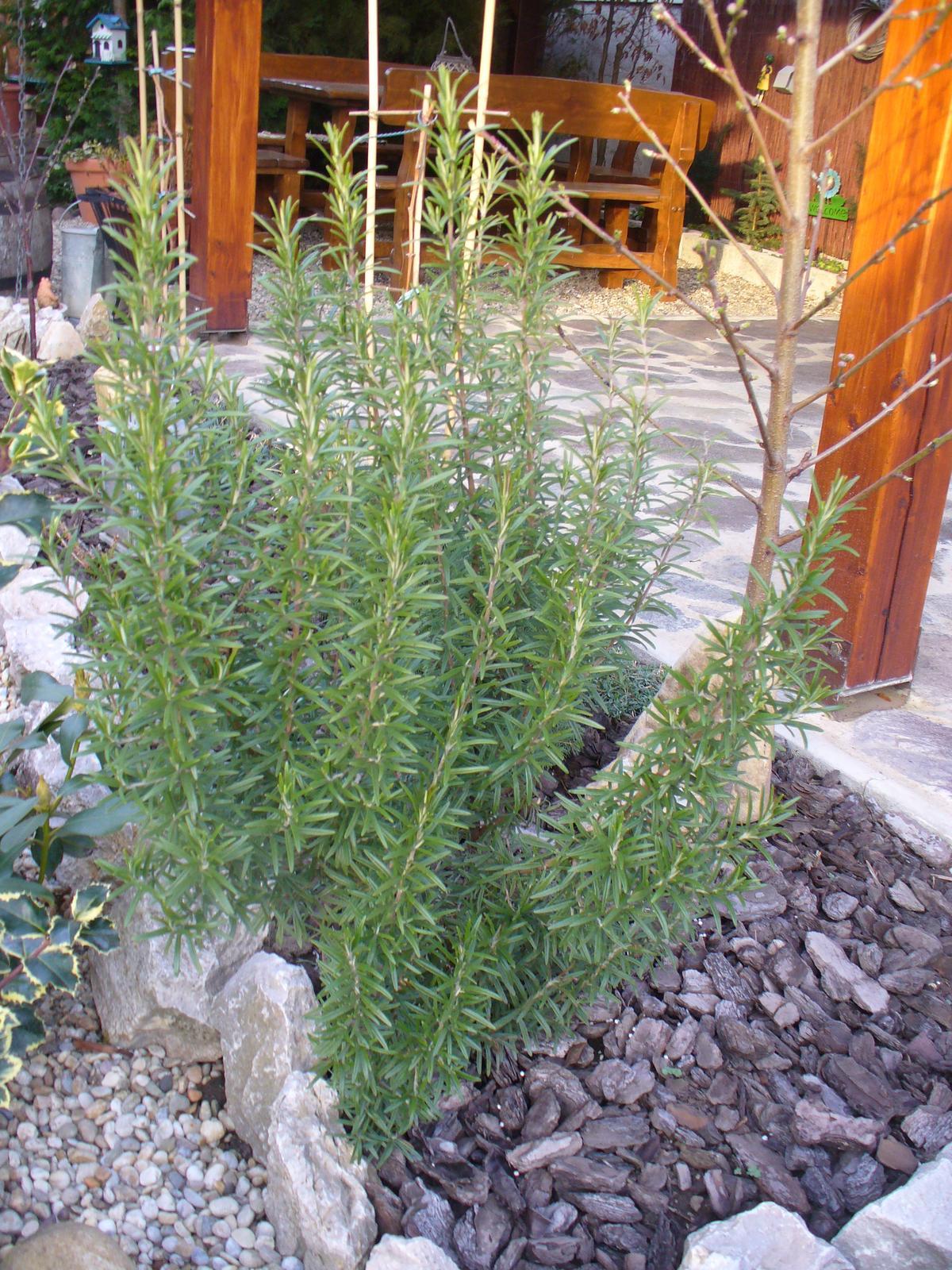 Prerábka, sadenie a úpravy v našej mini záhradke. - Rozmarín krásne prezimoval, bol väčší, ale boky som mu zostrihala, moc sa rozťahoval