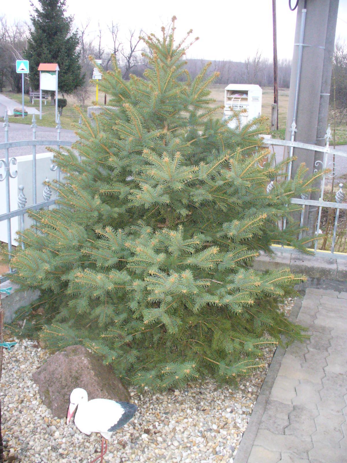 Prerábka, sadenie a úpravy v našej mini záhradke. - tento bude asi náš vianočný stromček